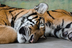 Tiger sleeping Royalty Free Stock Photo