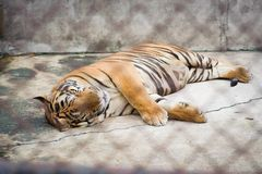 Tiger is sleeping royalty free stock photo