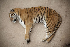 Tiger sleeping on the floor Stock Photos