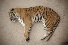 Tiger sleeping on the floor Stock Photos