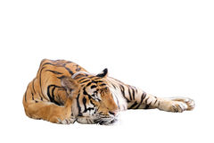 Tiger. Is sleeping isolated on white background with clipping path Royalty Free Stock Photos
