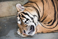Tiger Sleeping in a Kingdom Royalty Free Stock Image