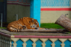 Tiger sleeping Royalty Free Stock Images