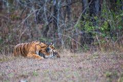 Tiger sleeping peacefully Stock Photo