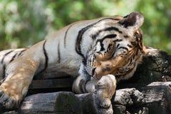 Tiger sleeping. Stock Photos