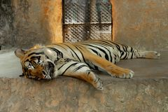 The tiger is sleeping on rock. stock photography