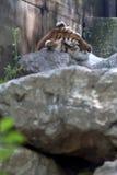Tiger sleeping Royalty Free Stock Photos