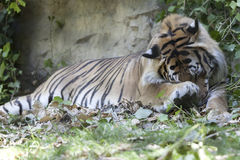 Tiger sleeping Stock Photos