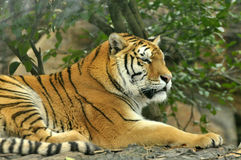 Tiger. A tiger sleeping on woods in zoo Stock Photography