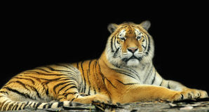 Tiger. A tiger sleeping on woods in zoo Royalty Free Stock Image