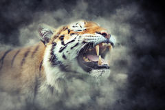 Tiger in smoke Stock Images