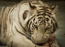 Tiger snack. White tiger eating his lunch Stock Photo