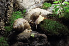Tiger snails. (Achatina achatina) on rock and moss Stock Images