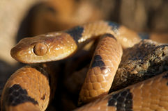 Tiger snake. Beetz tiger snake,Telescopus beetzii,is a mildly venomous snake from south west Africa Royalty Free Stock Photo