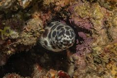 Tiger Snake Eel in the Red Sea. Colorful and beautiful, Eilat Israel royalty free stock image