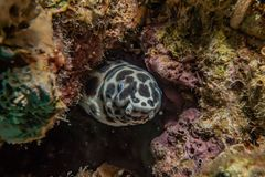 Tiger Snake Eel in the Red Sea. Colorful and beautiful, Eilat Israel stock photography