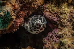 Tiger Snake Eel in the Red Sea. Colorful and beautiful, Eilat Israel royalty free stock photography