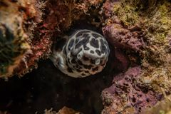 Tiger Snake Eel in the Red Sea. Colorful and beautiful, Eilat Israel stock photos