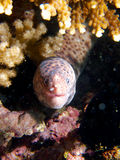 Tiger snake moray Stock Photo
