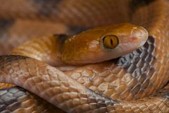 Tiger snake / Telescopus semmianulates Stock Photography