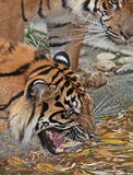 Tiger Snarl Stock Image