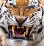 Tiger Snarl and Teeth Stock Images