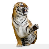 Tiger Snarling Royalty Free Stock Photo