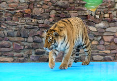 Tiger sneaks. Young tiger sneaks in an enclosure Royalty Free Stock Image