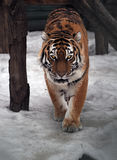 Tiger sneaks and looking at  the camera full size. The Tiger sneaks and looking at camera full size Royalty Free Stock Image