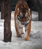 Tiger sneaks and looking at camera full size. The Tiger sneaks and looking at camera full size Royalty Free Stock Photos