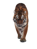 Tiger sneaks and looking at camera full size isolated at white. The Tiger sneaks and looking at camera full size isolated at white Stock Photography
