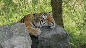 Tiger snoozing on rocks stock photo