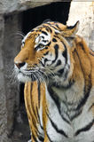 Tiger snout close up. In open-air cage at zoo. Vertical Royalty Free Stock Image