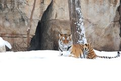 Tiger in the snow Stock Photos