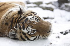 Tiger on snow royalty free stock photos