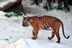 Tiger in snow Stock Photos