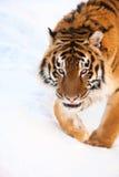 Tiger on the snow Stock Photos