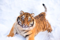 Tiger on the snow Stock Images