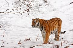Tiger in the snow Royalty Free Stock Photography