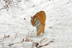 Tiger in the snow stock image