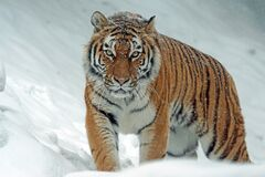 Tiger in snow Royalty Free Stock Photos