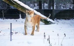 Tiger in snow. Background korea Stock Photo