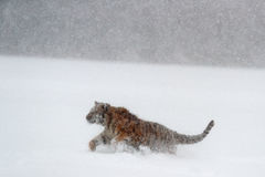 Tiger, snow fall. Amur tiger running in the snow. Tiger in wild winter nature. Action wildlife scene with danger animal. Cold wint Stock Photo