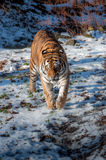 Tiger in the snow. A tiger walking in the snow, taken in a zoo Stock Photography