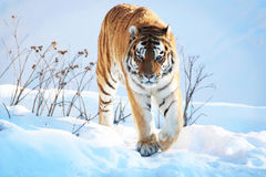 Tiger in the snow. In the winter stock photo
