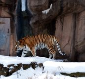 Tiger in Snow. This is a winter picture of a Siberian Tiger prowling in his snow covered habitat at the Lincoln Park Zoo in Chicago, Illinois.  This picture was Stock Photo