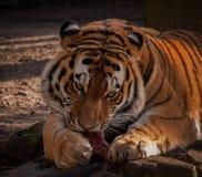 Tiger som äter hans kött Fotografering för Bildbyråer