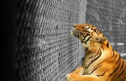 Tiger som drömmer av frihet arkivbild