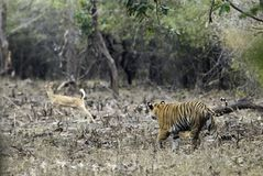 Tiger som förföljer på en prickig hjort Royaltyfri Bild