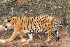 Tiger som går i en skog arkivbild
